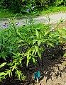 Solanum laciniatum Prague 2017 1.jpg