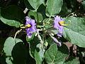 Solanum vespertilio kz2.JPG