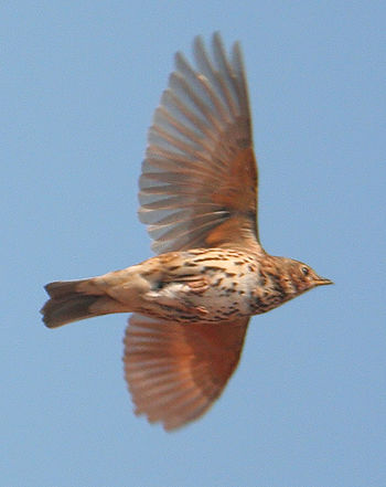 Song Thrush (Turdus philomelos) in flight. Bro...