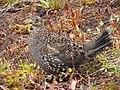 Sooty grouse along Lakes Trail. Early September 2015. (ae148474fd364ae5923a9bc4492bdff1).JPG