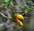Sophora prostrata in Auckland Botanic Gardens 01.jpg