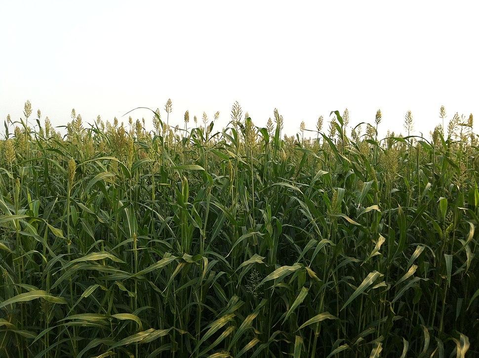 cf7db723f تعتبر الذرة الرفيعة من أهم المحاصيل التي تشتهر بها المنطقة الجنوبية، اللقطة  من إحدى مزارع منطقة جازان.