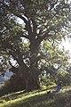 Sotto l'albero monumentale.jpg