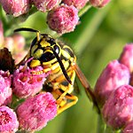 Southern Yellowjacket (Vespula squamosa).jpeg