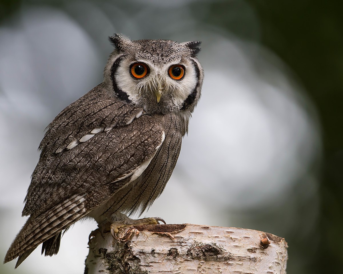 Southern white-faced owl - Wikipedia