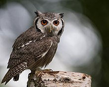 Southern white faced scops owl.jpg