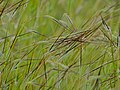 Spear Grass (Heteropogon contortus) intertwined awns (12818793383).jpg