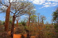 Spiny forest showing large baobab trees, spiny vegetation, and red soil