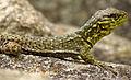 Spiny Whorltail Iguana, Machu Picchu.jpg