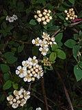Spiraea hypericifolia 2016-05-17 0793.jpg