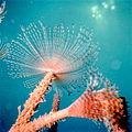 Spirographis Spalanzanii.jpg
