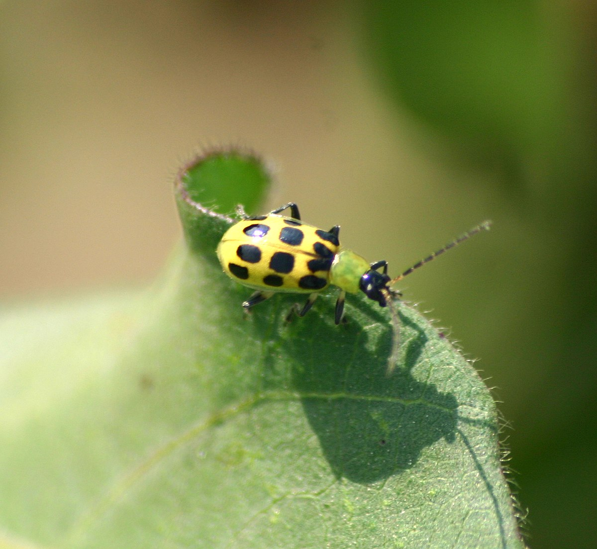 Spotted cucumber beetle - Wikipedia