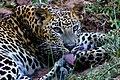 Sri Lankan Leopard (Panthera pardus kotiya).jpg