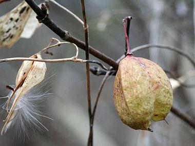 Staphylea trifolia & Vincetoxicum rossicum SCA-9967-69.jpg