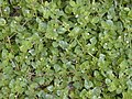Starr-010520-0065-Boerhavia repens-habit-Inland-Kure Atoll (24532750585).jpg