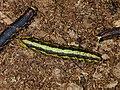Starr-020125-0001-Nicotiana glauca-Agrius cingulata larva color morphs-Kahului DOA-Maui (24438006432).jpg