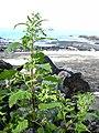 Starr-040410-0037-Chenopodium murale-habit-LaPerouse-Maui (24333449249).jpg