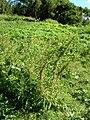 Starr-050222-4146-Conyza bonariensis-habit-Mokuauia-Oahu (24711595826).jpg