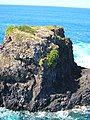 Starr-050307-4984-Schinus terebinthifolius-habit-Moku Mana-Maui (24112217434).jpg