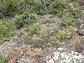 Starr-050816-7440-Erigeron karvinskianus-habit-Waiale Gulch-Maui (24684175342).jpg