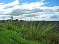 Starr-061121-9998-Cenchrus purpureus-habit with pineapple fields-Baldwin Ave-Maui (24241052454).jpg