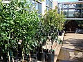 Starr-080103-1450-Citrus sinensis-plants for sale-Lowes Garden Center Kahului-Maui (24806465961).jpg
