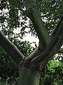 Starr-090610-0592-Pachira aquatica-trunk green bark-Haiku-Maui (24846049982).jpg