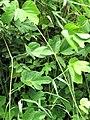 Starr-090618-1217-Pueraria montana var lobata-leaves-Wailua Hana Hwy-Maui (24965954785).jpg