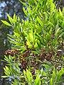 Starr-090804-3734-Acacia melanoxylon-leaves and seedpods-MISC HQ Piiholo-Maui (24603594269).jpg