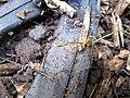 Starr-091026-8581-Averrhoa carambola-habitat and little fire ants on irrigation hose-Waihee-Maui (24893601901).jpg