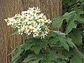 Starr-101130-9606-Montanoa hibiscifolia-flowers-Ulupalakua-Maui (25057237765).jpg