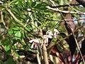 Starr-110330-3593-Gliricidia sepium-flowers and leaves-Garden of Eden Keanae-Maui (24712825059).jpg
