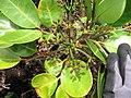 Starr-110827-8582-Polyscias oahuensis-leaves and flower buds-Waihee Ridge Trail-Maui (24736410889).jpg