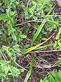 Starr-120229-3001-Dianella sandwicensis-habit-Waikapu Valley-Maui (24505206224).jpg