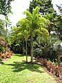 Starr-120522-6269-Wodyetia bifurcata-habit-Iao Tropical Gardens of Maui-Maui (25143419725).jpg
