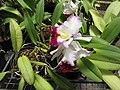 Starr-120522-6530-Brassolaeliocattleya sp-Walkeriana x Good News Carmela flowering habit-Iao Tropical Gardens of Maui-Maui (24517022423).jpg