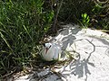 Starr-170626-9953-Eustachys petraea-with Red Tailed Tropicbird-Frigate Point Sand Island-Midway Atoll (36456948525).jpg