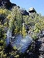 Starr 010808-0035 Argyroxiphium sandwicense subsp. macrocephalum.jpg