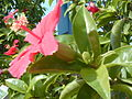 Starr 011104-0029 Hibiscus kokio subsp. kokio.jpg