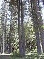 Starr 040812-0070 Araucaria columnaris.jpg