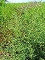 Starr 050517-1439 Bassia hyssopifolia.jpg