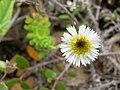 Starr 050519-1707 Tetramolopium rockii.jpg