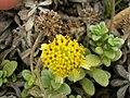 Starr 050519-1778 Melanthera integrifolia.jpg