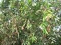 Starr 060916-8836 Syzygium jambos.jpg