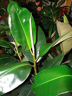 Ficus elastica wikipedia la enciclopedia libre for Plantas de interior hojas grandes