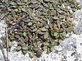 Starr 080601-5227 Phyla nodiflora.jpg