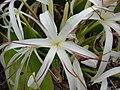 Starr 080606-6996 Crinum asiaticum.jpg