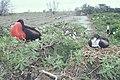 Starr 990412-0475 Tournefortia argentea.jpg