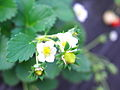 Strawberry flower (401283716).jpg