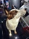 Strelka Dog.jpg